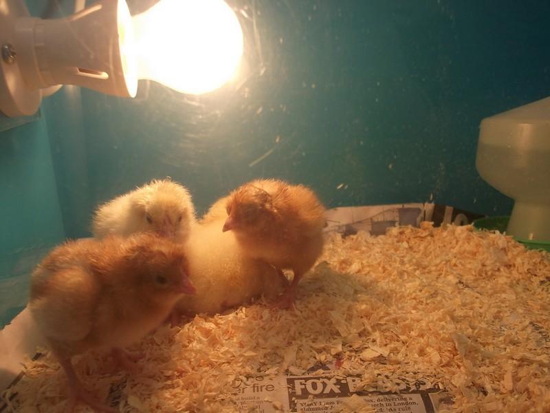 Reception Chicks (2)