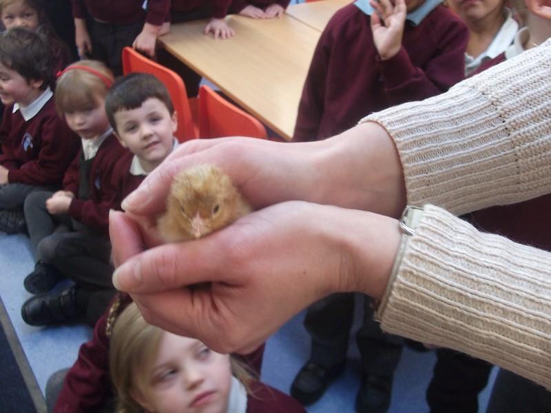 Reception Chicks (4)
