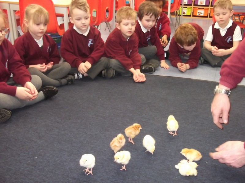 Reception Chicks (5)