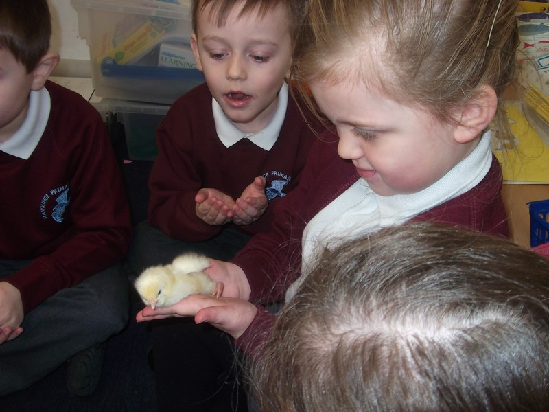 Reception Chicks (7)