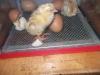 Reception Chicks (3)